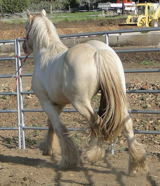 American Gypsy Horses Love Biscuit